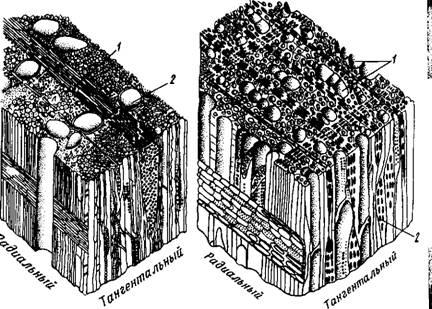 Схема анатомического строения дуба (порода кольцесо.  Судистая): / - лучи сердцевины; 2 - сосуды.